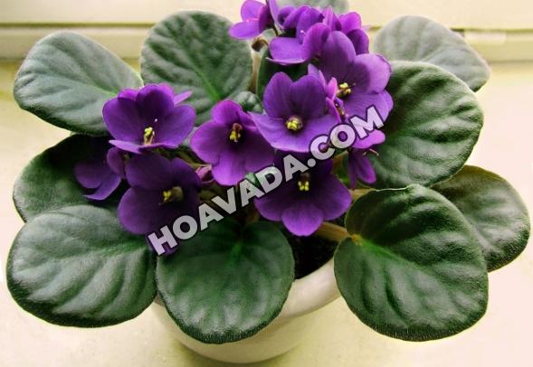 Hoa-violet-Chau-Phi---Da-Lat-Hasfarm