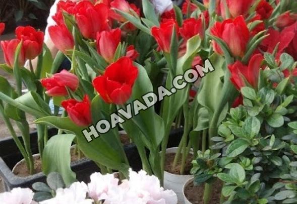 Hoa-Tulip