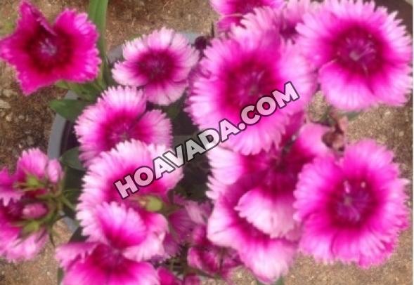 Hoa-Cam-Nhung